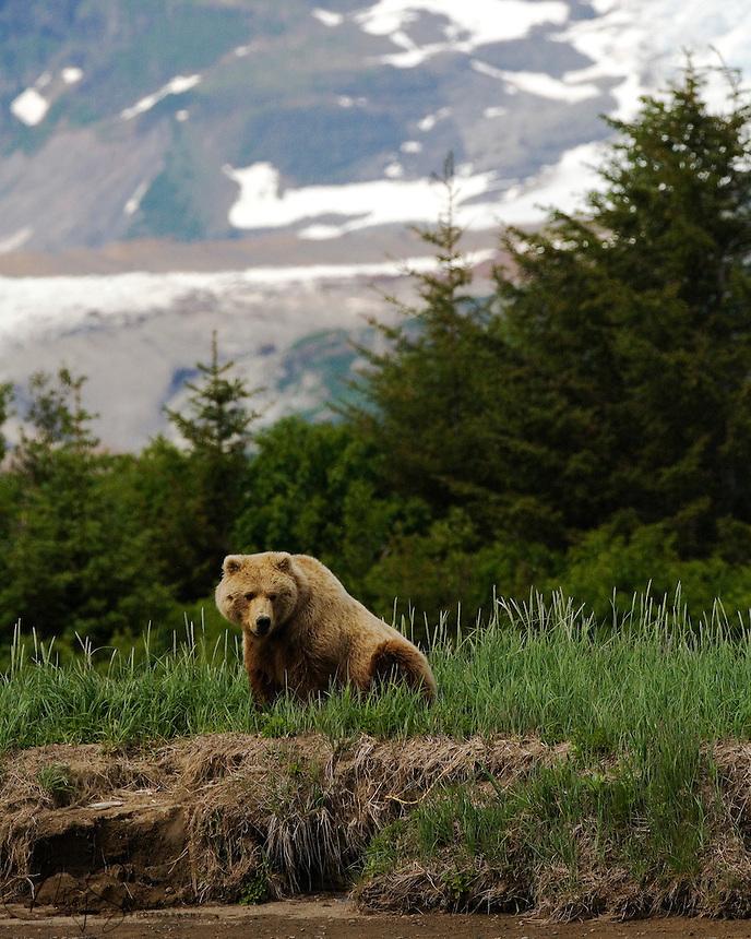 Female (sow) brown bear (Ursus arctos middendorffi), waiting for Romeo to catchup. Halo Bay, Katmai National Park.