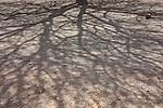 Shadow of the branches of a Sahara acacia tree (Acacia raddiana).
