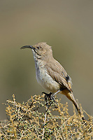 581970017 a wild lecontes thrasher toxostoma lecontei perches on a desert plant in kern county california united states