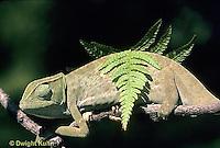 CH25-030z  African Chameleon - color change due to temperature difference, under leaf skin is cooler -   Chameleo senegalensis