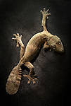Henkel's Leaf-Tailed Gecko