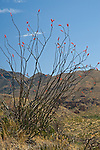 Ocotillo blooming after a spring rain in the Big Bend area of Texas