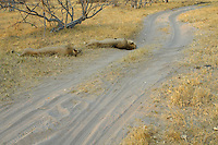 Resting male lions (panthera leo), sleeping dangerously close to the road.<br /> The Xakanaxa side of Moremi in the Okavango Delta, Botswana.<br /> September 2007.