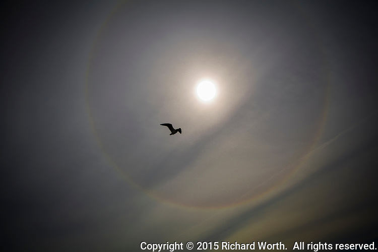 "A gull flies through a sun's halo.  Ice crystals high in the sky create an ""optical phenomenon"", a halo around the sun."