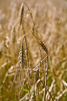 Barley grain, ready for harvest (Hordeum vulgare)