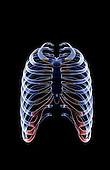 An anterior view of the ribs. Royalty Free