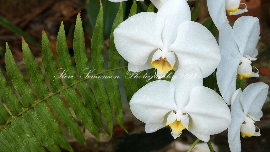Phalaenopsis amabilis<br /> Moth Orchid