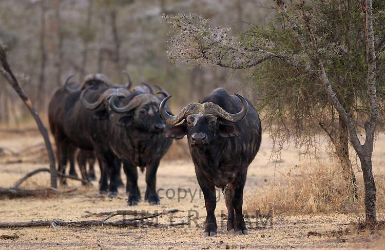 Herd of four African Cape buffalos,  Grumeti,Tanzania, East Africa