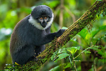 L'Hoest's monkey, Bwindi Impenetrable National Forest, Uganda