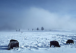 bison in Upper Geyser Basin in winter