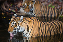 India, Rajasthan, Ranthambhore National Park, Bengal tigress drinking in waterhole, cub in background