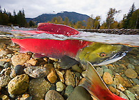 RY1216-D. Sockeye Salmon (Oncorhynchus nerka), male swims in shallow spawning channel, its arched back breaking the surface. Adams River, British Columbia, Canada.<br /> Photo Copyright &copy; Brandon Cole. All rights reserved worldwide.  www.brandoncole.com