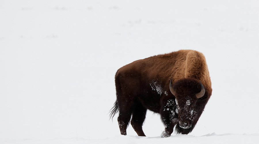 A Frost-Covered American Bison Bull Walks Through the Snow ...