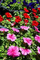 Petunia Bedding planrs, Dolac Flower Market [ Tr?nica Dolac ] , Zagreb, Croatia