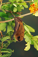 California Myotis (Myotis californicus) male, Alamos, Sonora, Mexico. Captivity