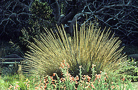 Muhlenbergia rigens-Deer grass, California native grass in San Francisco Botanical Garden Strybing Arboretum