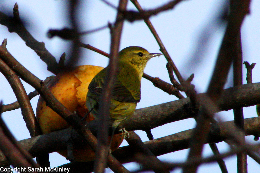 A warbler perched in a Golden Delicious apple tree outside Willits in Mendocino County in Northern California.