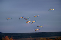 512666406 a flock of wild sandhill cranes grus canadensis fly over fall colored trees and brush on bosque del apache national wildlife refuge in new mexico