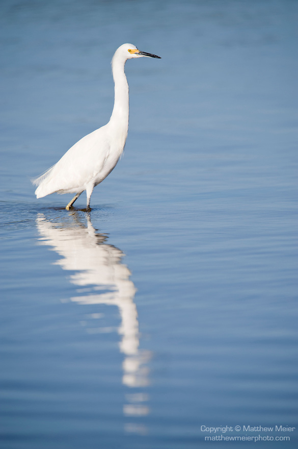Ding Darling National Wildlife Refuge, Sanibel Island, Florida; a Snowy Egret (Egretta thula) bird stands perched in the shallow water in search of food, while casting a long reflection on the water's surface in the early morning sunlight © Matthew Meier Photography, matthewmeierphoto.com All Rights Reserved
