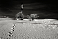 Black and white image of two yuccas and tracks on a sand dune near sunset in White Sands National Monument in south central New Mexico.