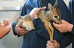 Foto: VidiPhoto<br /> <br /> ARNHEM - Een drukke ochtend voor dierentuinarts Henk Luten vrijdag in Burgers' Zoo in Arnhem. Als eerste moest de huid van twee neushoorns gecontroleerd en ingevet worden. Met name de stokoude breedlipneushoorn Freya had last van een droge huid, waardoor scheuren en dus infecties kunnen ontstaan. Neushoorn Gingabella kreeg een flinke schrobbeurt om losse huidschilfers te verwijderen. Freya is de laatste in het wild gevangen neushoorn van de Arnhemse dierentuin. Indertijd nodig om de soort te redden. De meeste neushoorns in dierentuinen worden geboren door eigen fok, of die van andere dierenparken.  Vervolgens moesten de hoeven van een ellips waterbok bekapt worden en werd met een echo gecontroleerd of het dier zwanger was omdat het park een nieuw, jong, mannetje in de kudde heeft. Van bevruchting bleek nog geen sprake. Tot slot werd bij een pasgeboren dikdik (foto) dna-materiaal afgenomen, vlak voor transport naar een Franse dierentuin. De dikdik behoort tot een van de kleinste antilopensoorten.
