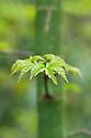 New leaves of Japanese maple (Acer palmatum 'Shishigashira'), early April.