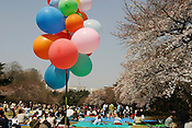 Japanese people celebrate the cherry blossom season by having 'hanami' picnics in Shinjuku park. The tradition of cherry blossom picnics is widely held throughout Japan during the blossom season. Tokyo, Japan.