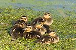 Mallard (Anas platyrhynchos) ducklings, Montezuma NWR, NY
