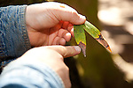 A UC Berkeley researcher located numerous infected bay leaves from trees in Foothills Park, pointing out the brown tips that show where water collected during the wet season.