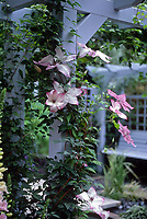 Clematis 'Fond Memories' on wooden arbor