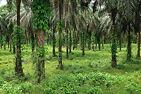 Oil Palm plantation, Eastern Madagascar