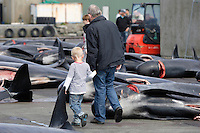 Whaling. Long-finned Pilot whales ( Globicephala melas ) Father and son walking between Carcasses from Grindadrap on harbour in Torshavn, Faroe Islands, North Atlantic