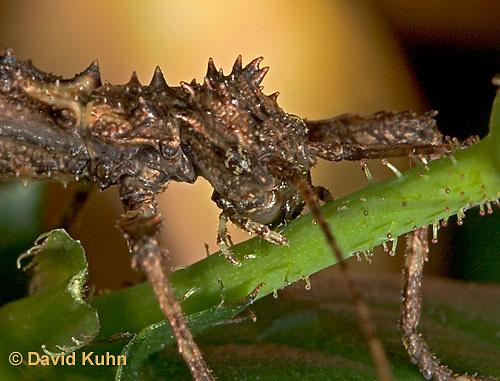 "0204-07qq  Thorny Walking Stick ""Nymph"" - Aretaon asperrimus ""Nymph"" - © David Kuhn/Dwight Kuhn Photography"
