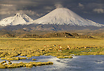 A small heard of Guanaco graze in front of the Payachata volcanoes, Lauca National Park, Chile