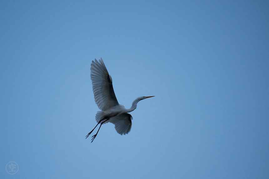 A great white egret (Ardea alba) prepares to land for the night against the darkening evening autumn sky, Ontario, Canada.