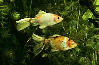 Goldfisch, Zuchtform Shubunkin, Shubunkin-Goldfisch, Goldfische, Carassius auratus, Carassius auratus auratus, Carassius gibelio, goldfish