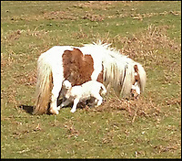 "BNPS.co.uk (01202 558833).Pic: Georgina Hirst/BNPS..***Please use full byline***..This Shetland pony must have gone baa-my - after it adopted an orphaned lamb...Despite having a young foal of its own, the mother pony allowed the lamb to feed from it and even stood watch over her new family member at night...The odd couple forged their unlikely friendship in the Black Mountains in Wales, where more than 2,000 sheep and around 60 horses roam...Horserider Georgina Hirst did a double take when she spotted the pair feeding while out riding...Georgina, 29, an equine vet from Hay on the Wye, said: ""I was out riding one day and I spotted a baby lamb feeding...""The first time I saw it I couldn't quite believe it - I thought I might be imagining it...""But then I saw it again and again over the space of about a week...""It seemed the Shetland mare had adopted the orphaned lamb and was letting it feed from her.."