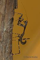 1110-0808  Malaysian Dead Leaf Mantis Nymph, Deroplatys lobata © David Kuhn/Dwight Kuhn Photography.