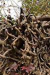 Exposed and tangled tree roots barely hold back natural erosion at the edge of the Catawba River, Lancaster County, South Carolina