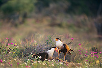 511587040 a pair of wild northern crested caracaras caracara cheriway sitting in field of wildflowers feed on a wild feral hog carcass in south texas