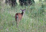 Young deer stops in her tracks to see who is following on a warm summer's day on Henry Island in the San Juan Islands