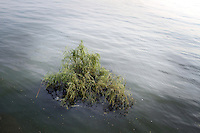 A submerged tree at Dongting Lake, Hunan Province, during a time of flooding. Dongting Lake has decreased in size in recent decades as a result of land reclamation and damming of the Yangtze. China. 2010