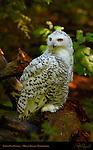 Snowy Owl Female, Arctic Owl, Great White Owl, Mount Ranier, Washington