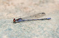 338480004 a wild male fiery-eyed dancer argia oenea perches on a rock in the stream at jewel of the creek conservation area maricopa county arizona