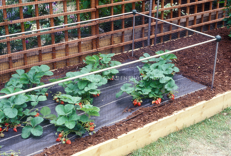 Protecting strawberries from animals plant flower for How to protect your garden from animals