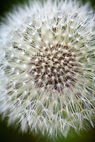 Dandelion.Macro / Details in Nature.Stock images for license - no use without permission