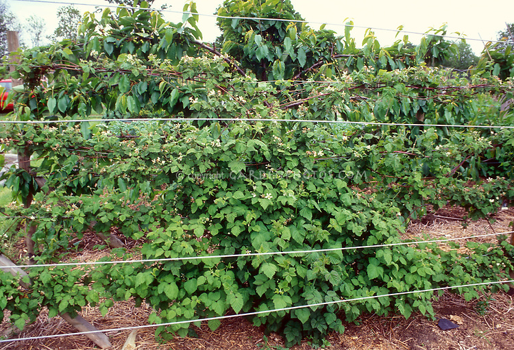 Raspberries fruit bushes growing on farm garden trained between wire trellis caging