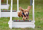 Dog leaping over fence during Flyball Activity Competition