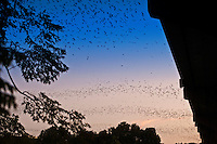Each night at dusk, all at once, streams of Mexican Free-tailed Bats exit the Congress Ave. Bridge to hunt for their nightly dinner amid a beautiful orange and bright blue sunset.