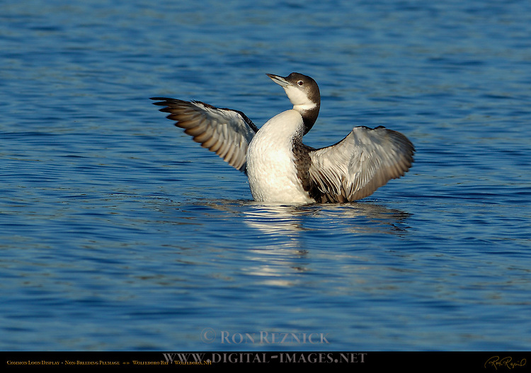 Common Loon Display, Non-Breeding Plumage, Great Northern Loon, Wolfeboro Bay, Wolfeboro NH
